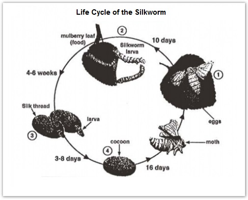 ielts essay on life cycle of silkworm